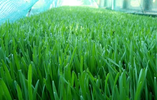 spelt-grass