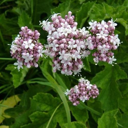 Valerian-bloom