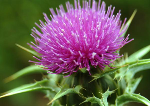Белият трън е обещаваща билка в лечението на рак на черния дроб